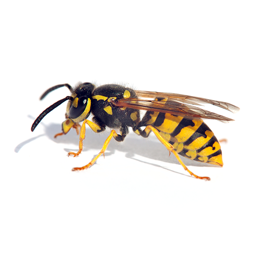 Link to Description of Bees & Wasps Pest Services