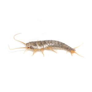 Link to Description of Silverfish Pest Services