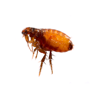 Link to Description of Fleas Pest Services