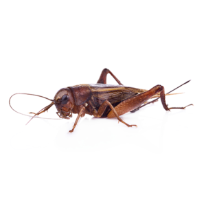 Link to Description of Crickets Pest Services