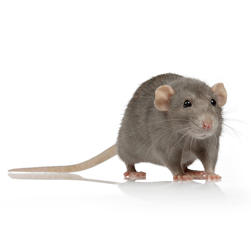 Link to Description of Rodents Pest Services
